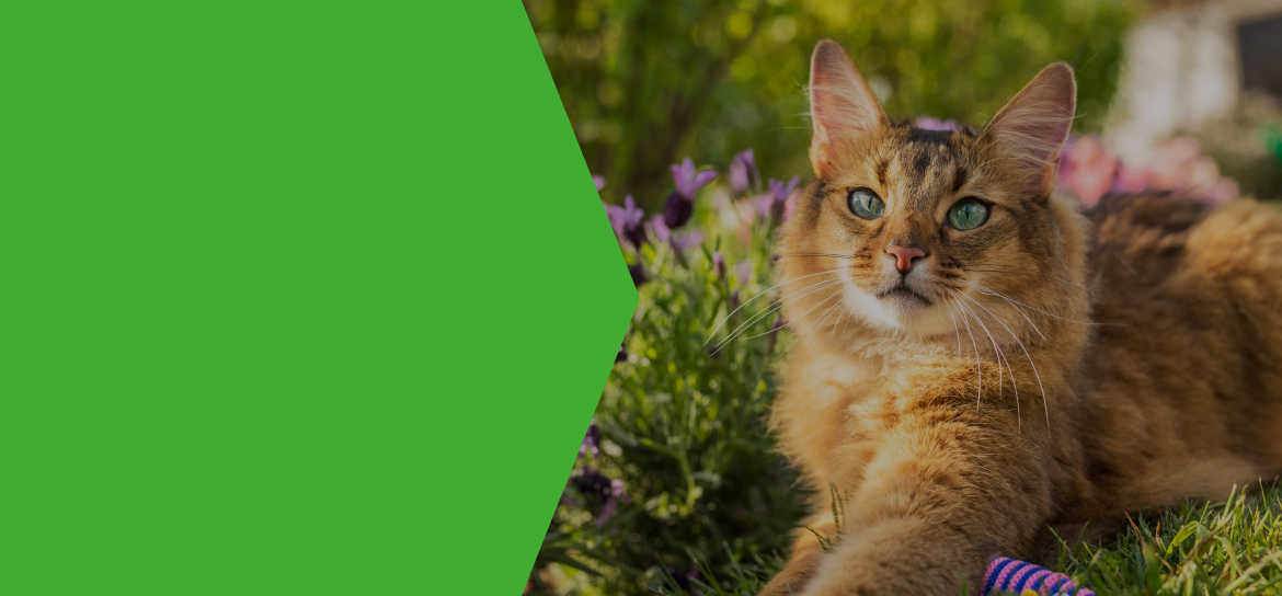 hyperthyroidism is common in cats