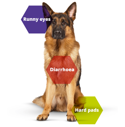 cannine distemper dog symptoms