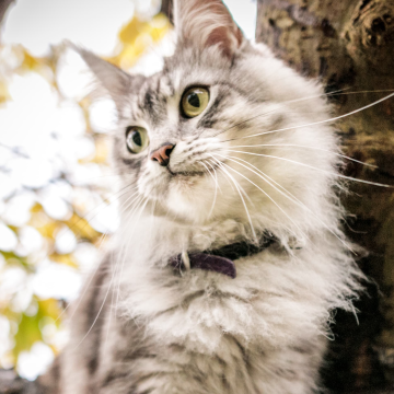 hyperthyroidism in cats can be treated with medication