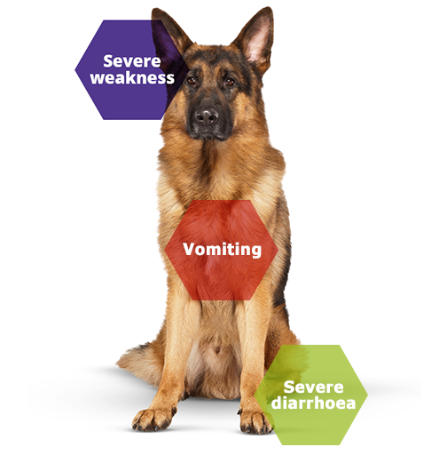 parvovirus dog symptoms