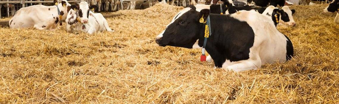Winter herd health for cattle