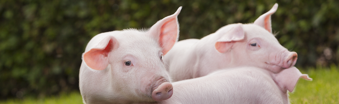Image of outdoor piglets heading the MSD Animal Health pig products page