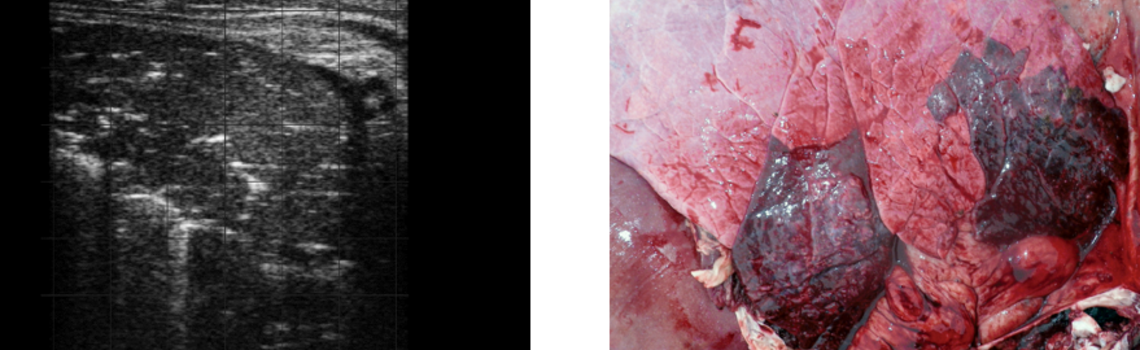 Ultrasound and post mortem  images of lung thickening and oedema