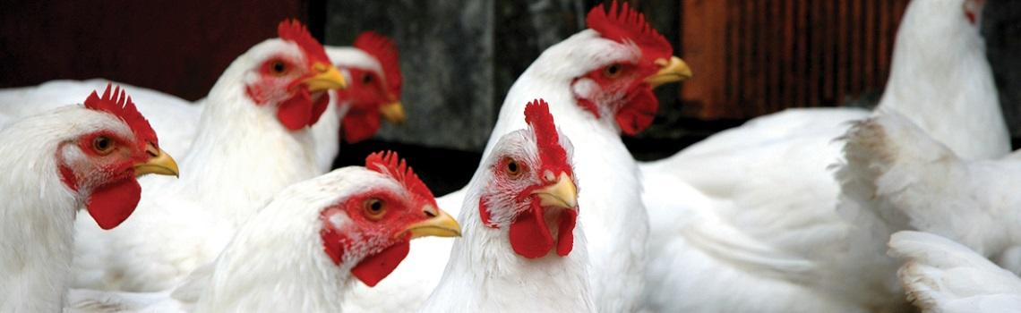 Image of broiler chickens heading the MSD Animal Health poultry products page