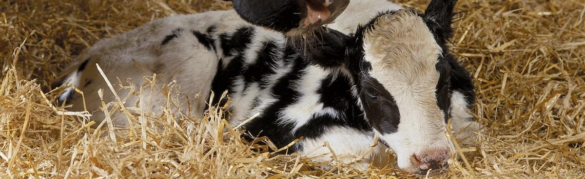 Dairy calf image