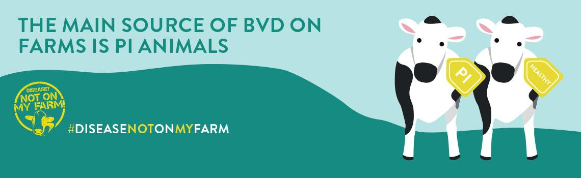 Infographics discussing BVD – Bovine Viral Diarrhoea