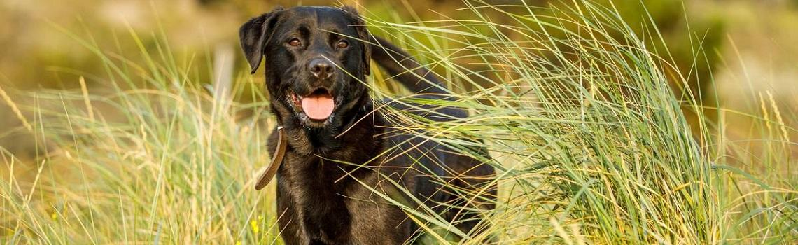Image of a dog in a field heading the MSD Animal Health dog products page