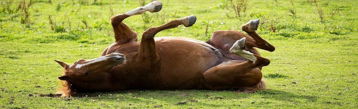 Image of horse with colic rolling