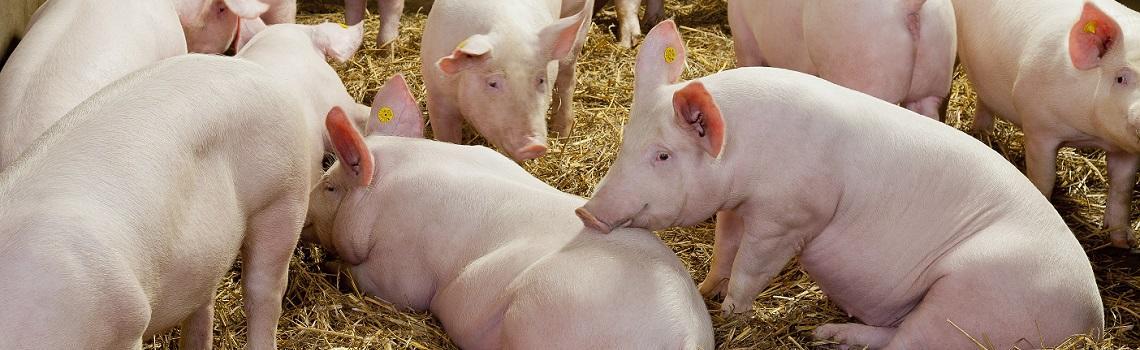 Image showing indoor pigs