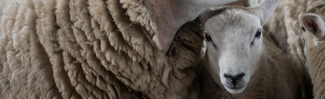 Image of lambs heading the MSD Animal Health sheep products page