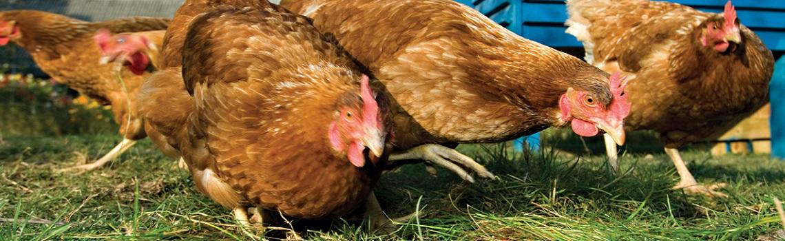 Image of organic chickens in a field heading the MSD Animal Health poultry products page