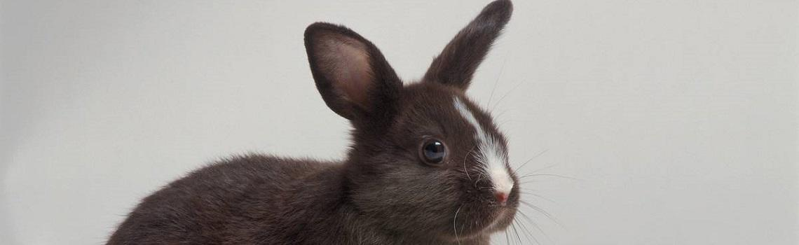 Image of a rabbit heading the MSD Animal Health rabbit products page