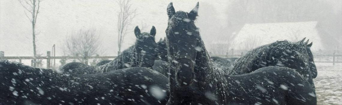 black horses in the snow