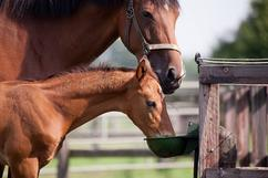 broodmare with a foal eating from a container