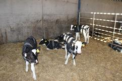 Image showing calves grouped inside with calf jackets