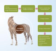 Flow chart showing hindgut disturbance