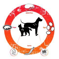 Big Flea Project flea life cycle