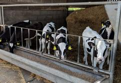 Group of weaned dairy calves in a shed