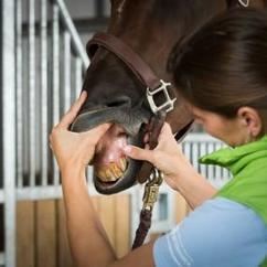 Vet examining horse's incisors