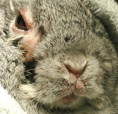 Image of rabbit with myxomatosis