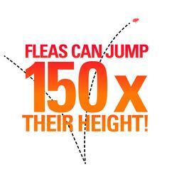 Big Flea Project flea fact
