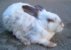 Rabbit showing signs of myxomatosis