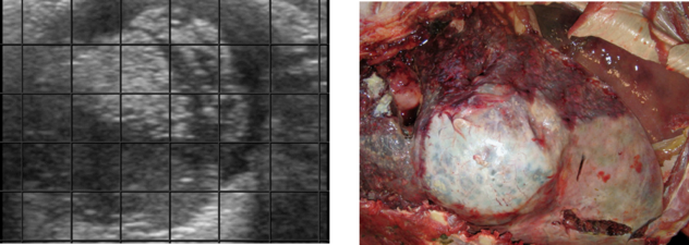 Ultrasound and post mortem imagery showing lung abscess due to BRD