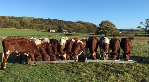 Cattle on an organic dairy farm