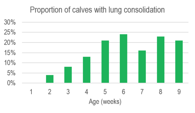 Graph showing agecalves show lung consolidation by ultrasound