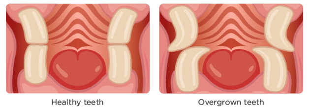 Diagram showing good and bad dental health in rabbits