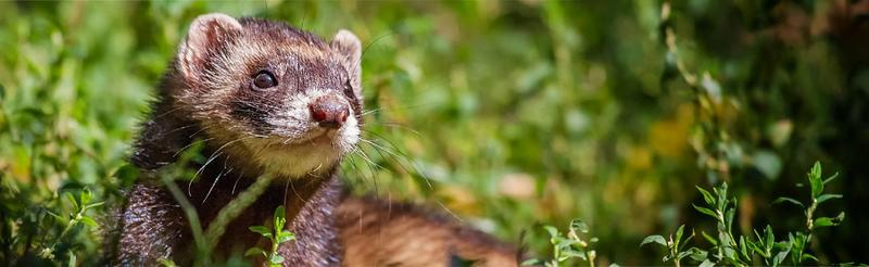 Image of a ferret outside heading the MSD Animal Health ferret products page