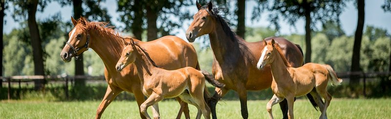 Image of horses in the field heading the MSD Animal Health horse products page