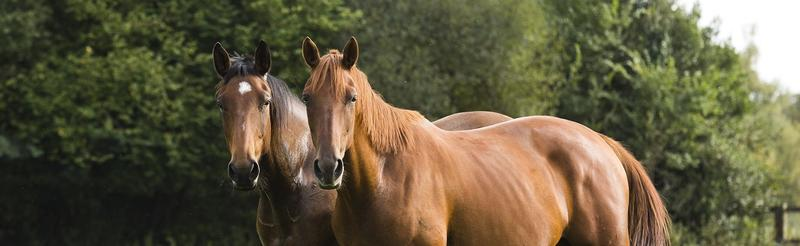 Image of two brown horses next to each other in a field looking foward