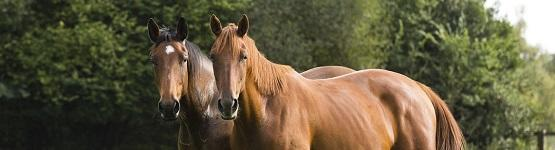 Image of two brown horses in a field