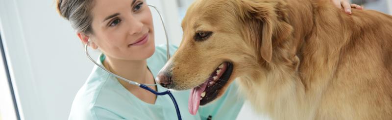 Diagnosis of dog canine diabetes