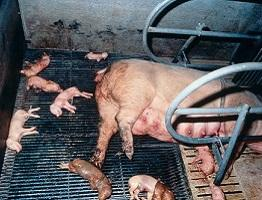 Image of stillbirth in piglets