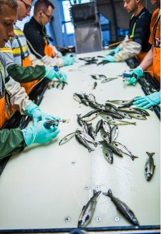 Image of aquaculture vaccination