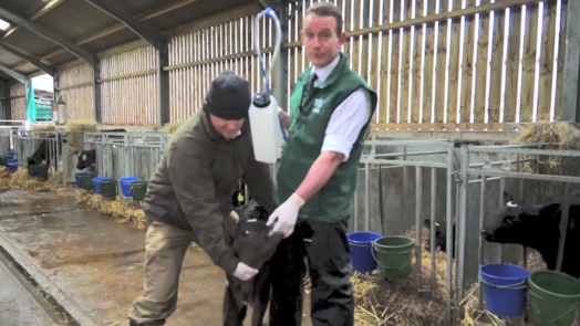 Image of vet and farmer about to give colostrum to calf