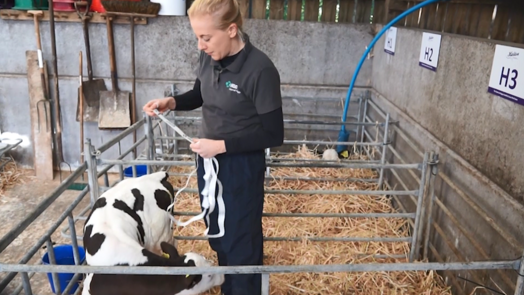 Image of a vet using a weight tape on a calf
