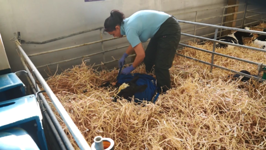 Image of farmer putting calf rug on a newborn calf