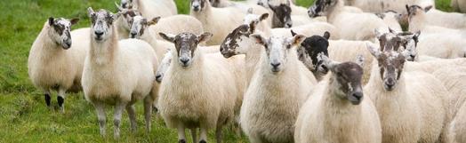 Mule sheep herd