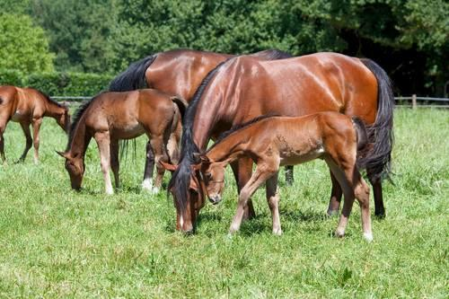 Image of mares and foals