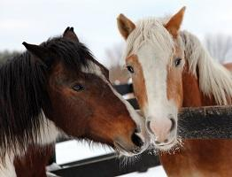 Image showing two horses in winter