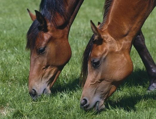 Image of two brown horses grazing on grass