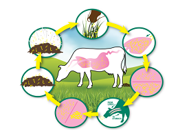 Image of lungworm life cycle in cattle