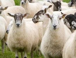 Image of a flock of sheep close up