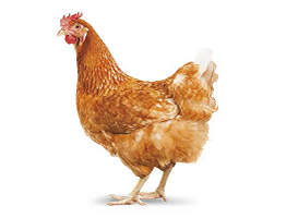 Image of hen