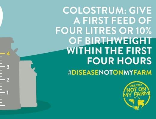 Good colostrum gives calves best start