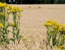 Image of ragwort, a poisonous plant for horses