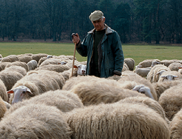 Shepherd with sheep image